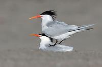 Elegant Tern - Thalasseus elegans - adult breeding