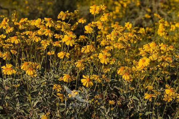Brittlebush or brittlebrush (Encelia farinosa) flowers.  Arizona.  Feb-March.  Common desert wildflower.