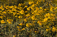 Brittlebush or brittlebrush (Encelia farinosa) flowers.  Arizona.  Feb-March.  Common desert wildflower.