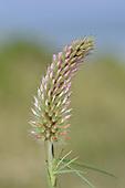 Narrow-leaved Clover - Trifolium angustifolium