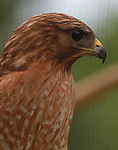 This red-shouldered hawk is being cared for at the TreeHouse Wildlife Center.
