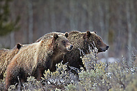 Grizzly 610 and cubs moving through the woods of Grand Teton National Park