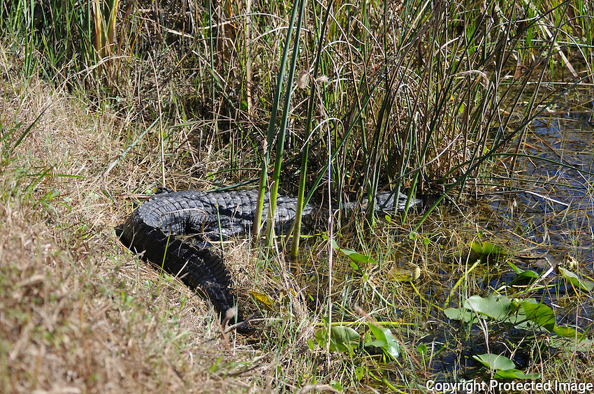 Alligator hiding in the foliage near a canal  located in Arthur Marshall Loxahatchee Preserve, Boynton Beach, Florida.