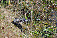 Alligator hiding in the foliage near a canal  located in Arthur Marshall Loxahatchee Preserve, Boynton Beach, Florida.