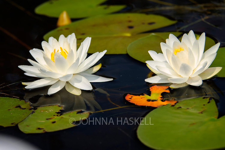Water Lilies found in the wild bogs of Maine. This white flower looks amazing printed on canvas with its clarity appearing like a real oil painting.