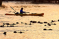 Kayaker passing by resting sea otters, Enhydra lutris nereis, Monterey, California, USA, Pacific Ocean
