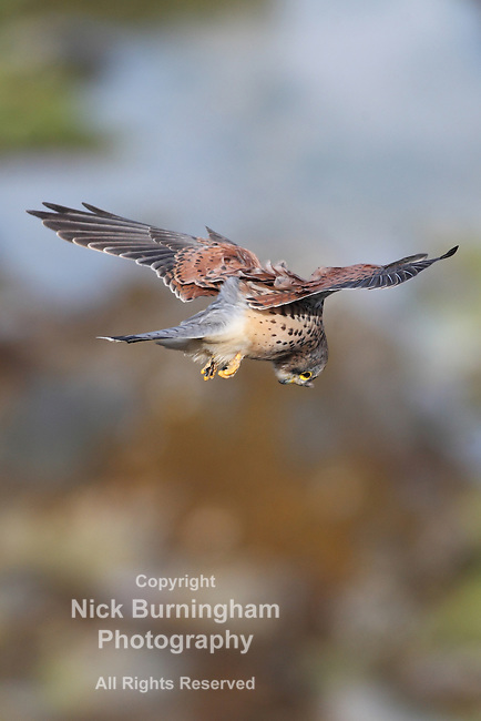 PENTIRE, NEWQUAY, CORNWALL, UK -September 16, 2016: Strong winds cause no problems for a coastal hunting kestrel off the Pentire cliffs. Kestrels are known for static hovering prior to diving down on their prey.