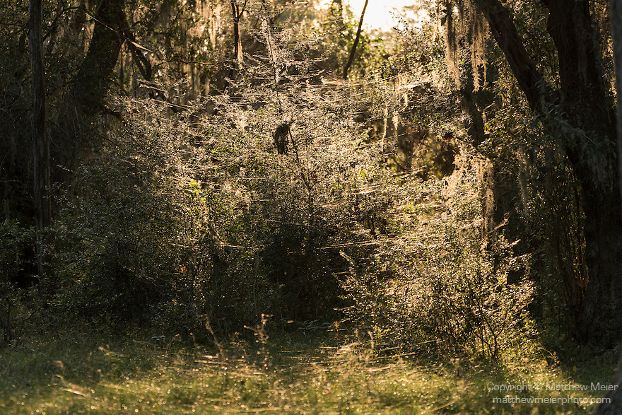 Brazoria County, Damon, Texas; horizontal spider webs, backlit by late afternoon sunlight, are hung between blades of grass, bushes and trees near a clearing in the woods