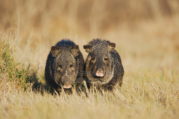 Collared Peccary, Javelina (Tayassu tajacu), pair, Sinton, Corpus Christi, Coastal Bend, Texas, USA