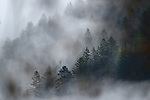 Norway Spruce forest in fog (Picea abies), Alps, Italy
