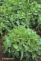 HS21-524x  Lettuce - Royal Oak variety - loose leaf