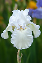 Iris 'Madeira Belle', mid May. A tall, pure white bearded iris.