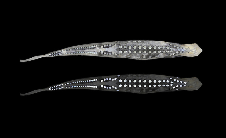 Pearlsides - Maurolicus pennanti Length to 5cm. Deep sea, laterally flattened fish. Sides are silvery and note pearl-like spots along flanks and on belly. These contain photophores (light-emitting organs) and are thought to be used to deter/confuse would-be predators.