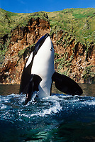 Keiko, star of Free Willy movie, orca or killer whale, Orcinus orca, spyhopping, Klettsvik Bay, Vestmannaeyjar, Westman Islands, Iceland