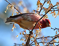 Male purple finch eating seeds