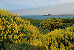 Yellow bush lupine at Ano Nuevo State Park