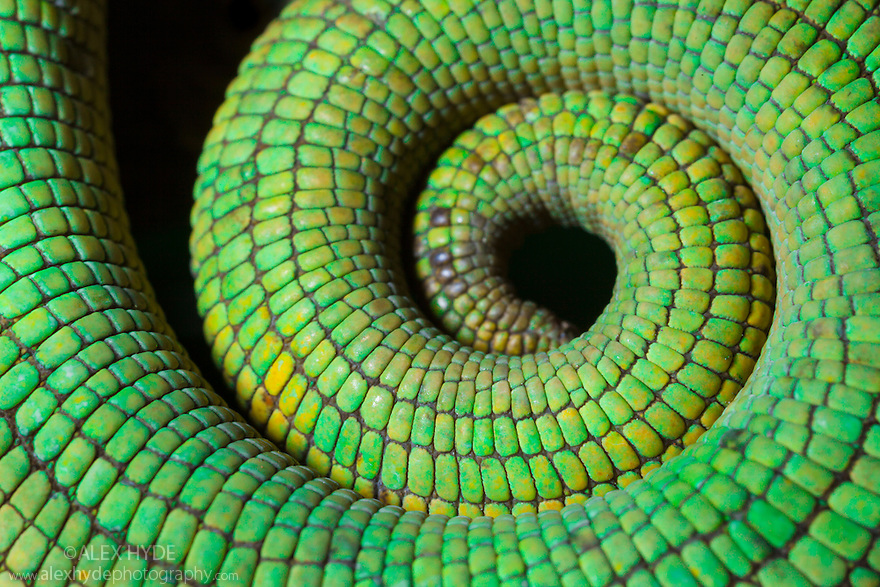 Parson's Chameleon tail {Calumma Parsonii}, Madagascar.