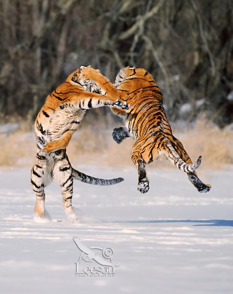Two Siberian Tigers (Panthera tigris altaica) Winter.