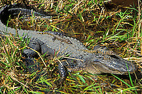 American Alligator protecting its young (Alligator mississippiensis).  Spring.  Southeastern U.S.