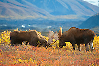 Bull Moose sparing ritual prior to the rut (mating season). Alaska Denali National Park