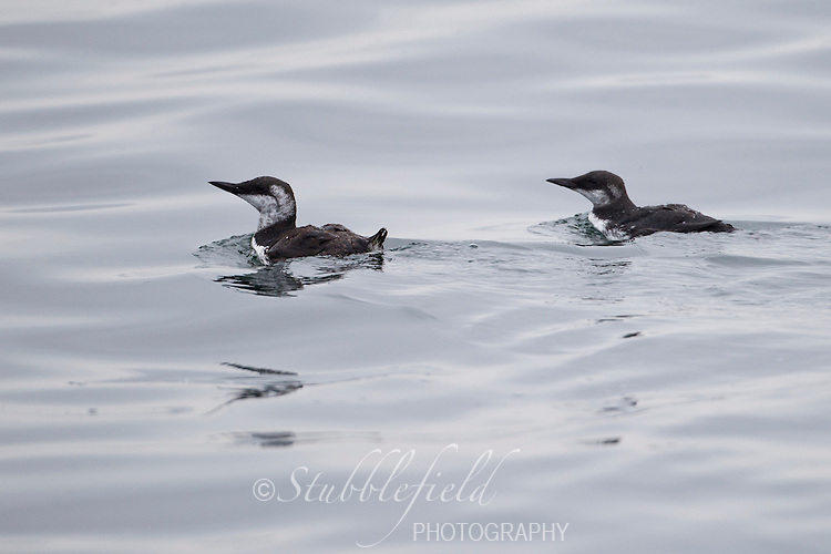 Common Murre (Uria aalge californica), male parent (left) and juvenile (right) swimming in the waters of the Monterey Bay National Marine Sanctuary.
