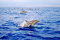 pantropical spotted dolphins, porpoising, Stenella attenuata, mother and calf, Big Island, Hawaii, Pacific Ocean