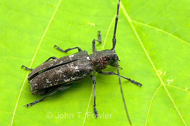 Whitespotted Sawyer Beetle, Monochamus scutellatus