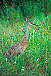 Sandhill Crane (Grus canadensis) walking in a summer field.  Winter, WI.