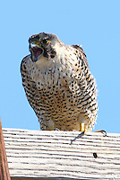 Peregrine facon adult screaming