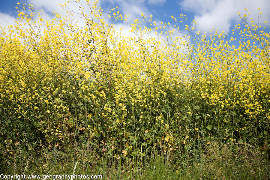 Yellow flowers of oil seed rape crop growing in field, Suffolk, England