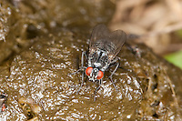 Grauschwarze Hausfliege, Fliege auf frischen Pferdeapfel, Kot, Polietes lardarius, Muscidae