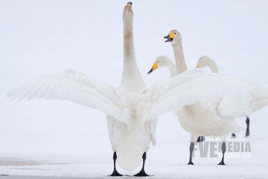 Whooper Swans communicating.