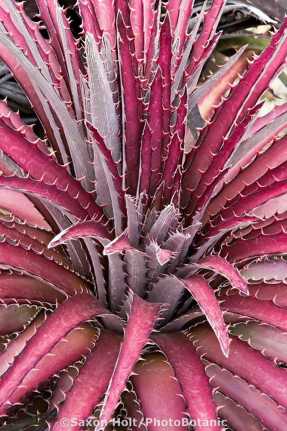 Dyckia 'Jim's Red' Terrestrial bromeliad with red, purple strap serrate leaves