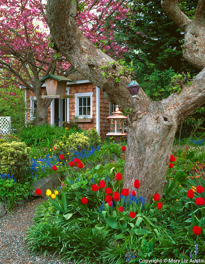 Vashon Island, WA<br /> A gravel pathway leads to a small shed in a spring garden of blooming tulips, hyacinths and cherry trees