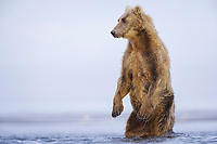 Paula likes to stand up when she is hunting. Kodiak grizzly bear (Ursus arctos middendorffi), Hallo Bay