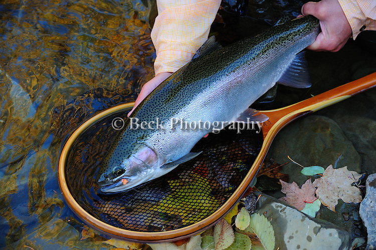 A STEELHEAD CAUGHT FLY FISHING IN ERIE