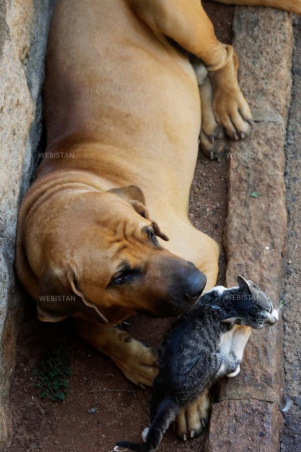 Bresil, etat Minas Gerais, Muzambinho (Nord de Sao Paulo), 30 octobre 2012.<br /> <br /> Le chien de la Fazenda (ferme au sein d'une exploitation de cafe) Nossa Senhora da Aparecida  (Notre-Dame de l&rsquo;Apparition), membre du programme Nespresso AAA, joue avec Miaouh le chat. Le nom de la ferme est donne en reference a la Vierge Marie, sainte patronne du Bresil, celebree chaque annee,  le 12 octobre.<br /> Reportage les Chants de cafe_soul of coffee, realise sur les acteurs terrain du programme de developpement durable Triple AAA de Nespresso.<br /> <br /> Brazil, Minas Gerais, Muzambinho, (North of Sao Paulo), October 30, 2012 <br /> <br /> The dog of the fazenda (a coffee farm within a plantation), Nossa Senhora da Apareida (Our Lady of Aparecida), plays with Miaouh, the cat. The farm is a member of Nespresso AAA Sustainable Quality program and its name gives reference to the Virgin Mary, the patron Saint of Brazil, who is celebrated every year on October 12th. <br /> Assignment: les Chants de cafe_ Soul of Coffee, implemented on the fields of Nespresso&rsquo;s AAA Sustainable Quality Program.