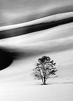 A pine tree stands alone amongst large snow drifts in Yellowstone National Park's Hayden Valley during winter.