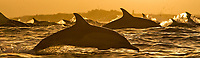 silhouette, sunset, long beaked common dolphins, Delphinus capensis, leaping, South Africa