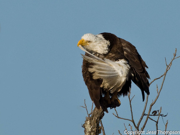 Bald Eagle at the LLano nest preens its tail feathers.