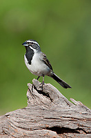 578670024 a wild black-throated sparrow amphispiza bilineata perches on a mesquite log in the rio grande valley of south texas