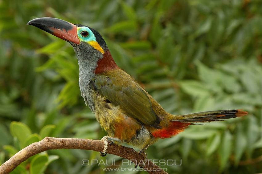 Guyana Toucanet, (Selenidera culik), Female