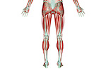 A posterior view of the musculoskeleton of the lower body. Royalty Free