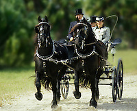A team of Friesian stallions with driver trot pulling a carriage.