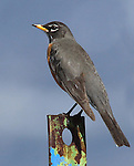 An American robin hangs out on the Comstock Seed ranch on Monday, April 11, 2011, in Gardnerville, Nev..Photo by Cathleen Allison