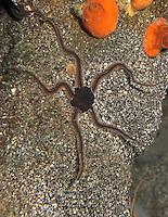 Schwarzer Schlangenstern, Schlangen-Stern, Ophiocomina nigra, black brittlestar, black serpent-star