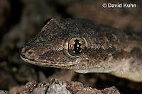 0507-08pp  Flat-tailed House Gecko, Cosymbotus platyurus © David Kuhn/Dwight Kuhn Photography