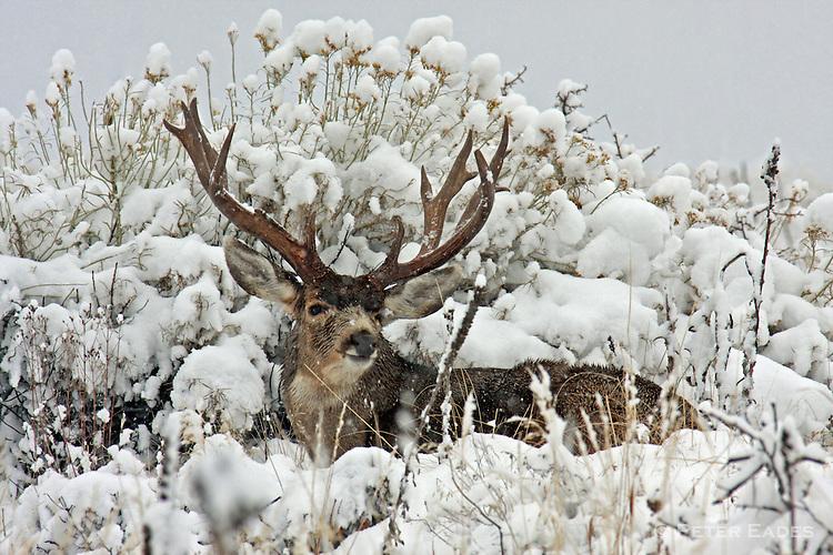 Mule Deer Buck on Snow
