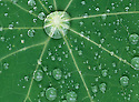 The sphere is one of the most ubiquitous shapes in nature and for good reason. It is also one of the most efficient, allowing the greatest volume to be stored in the smallest surface area. (SPHERES).Raindrops on Nasturtium leaves, southeastern Australia.