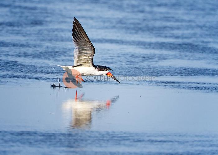 Black Skimmer landing in water with feet splashing